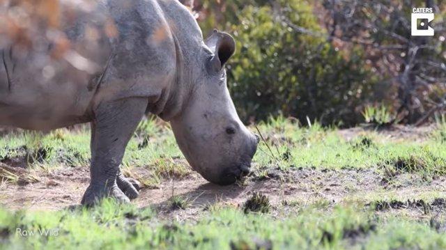 Una pareja avista y consigue grabar en vídeo a un rinoceronte blanco y a su cría en Sudáfrica