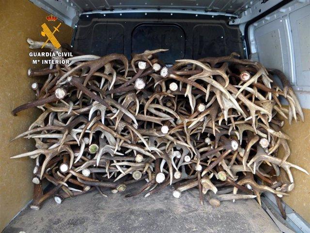 Cuernos de venado cargados en una furgoneta