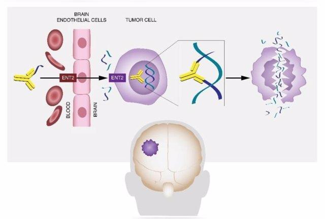 El anticuerpo DX1 actúa mediante un mecanismo único para atravesar la barrera hematoencefálica y eliminar las células cancerosas del cerebro y las metástasis, reduciendo el tamaño del tumor y aumentando la supervivencia.