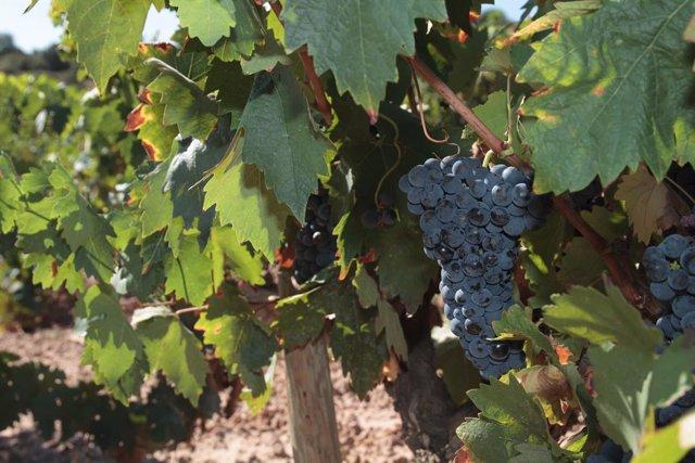 Archivo - Detalle de un viñedo cercano a la sede del Consejo Regulador De La Rioja, en Logroño, La Rioja, (España), a 9 de septiembre de 2020. Durante el día de hoy, el veedor del Consejo Regulador sobre vendimia 2020 en DOCa Rioja, Baltasar Marchán, ha a