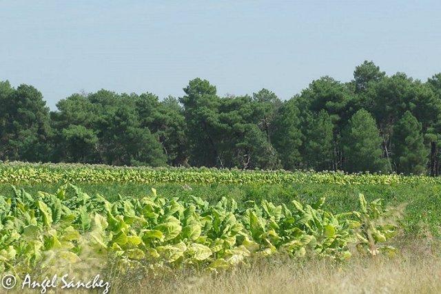 Archivo - Cultivo de tabaco