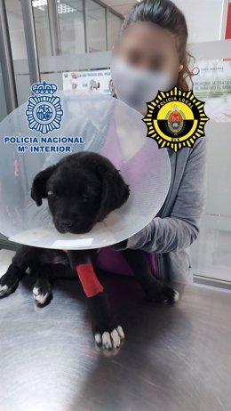 Detenido en Elche por pegarle presuntamente una paliza a una perra de 3 meses y dejarle secuelas