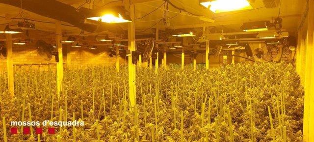 Plantes de marihuana en una nau a Camarasa.