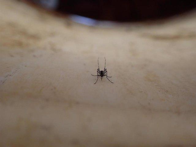 Archivo - Mosquito Aedes aegypti hembra.