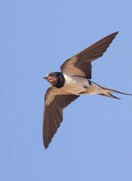 Una golondrina en vuelo.