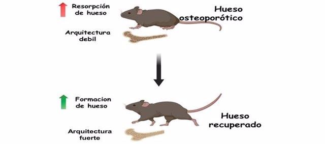 Investigadores españoles desarrollan un nanosistema capaz de revertir la osteoporosis en modelos animales