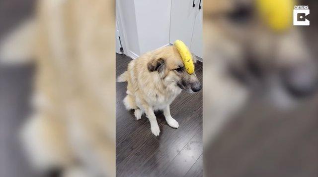 Esta perrita demuestra grandes dotes de equilibrio y paciencia balanceando un plátano sobre su cabeza