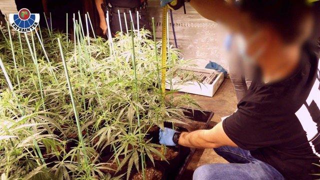 Pllantación de marihuana
