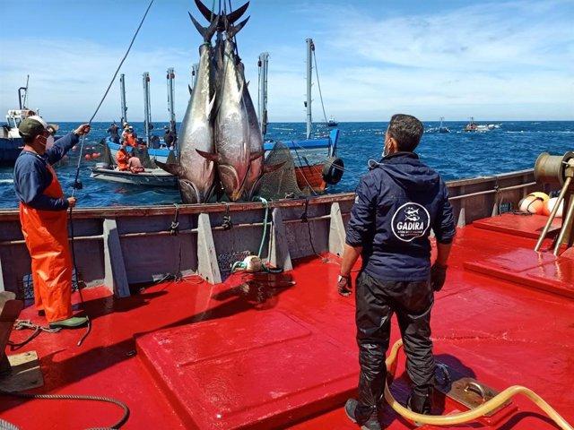 Archivo - Pimera levantá de 2021 en la almadraba de atún rojo salvaje en Conil