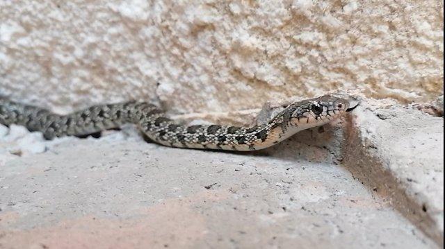 Serpiente de herradura