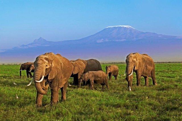 Archivo - Elefantes en África, amenazados por la caza furtiva