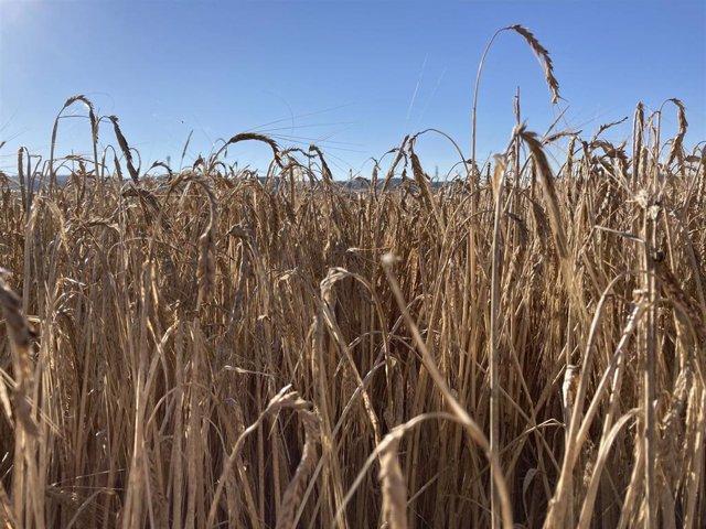 Archivo - Cultivo de cereal en Valladolid.