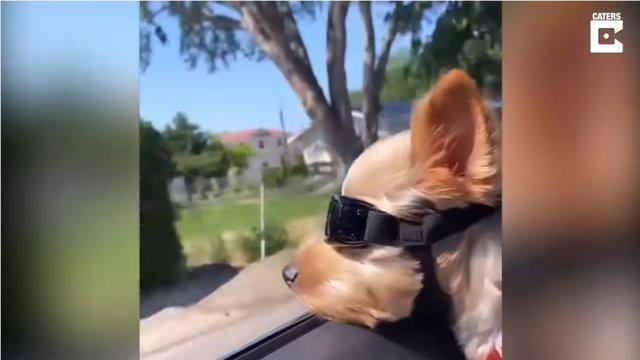 ¿Es Este Perro Estiloso Es Más Chulo De Su Barrio?