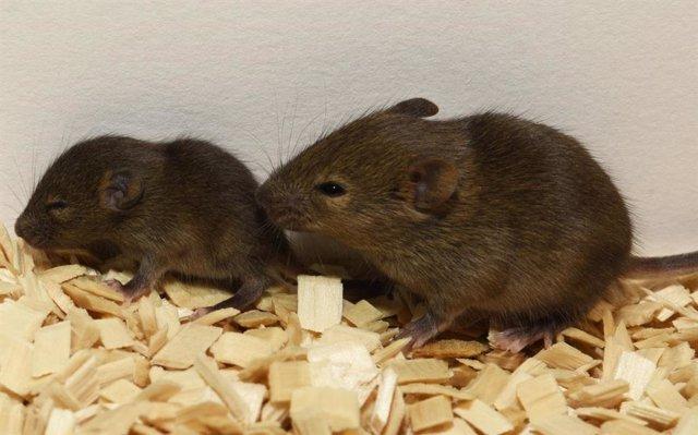 Archivo - Ratones de laboratorio