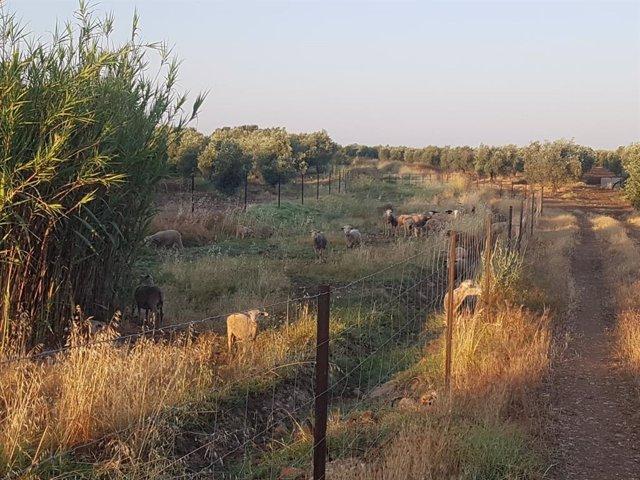 Ovejas en el campo de Córdoba.
