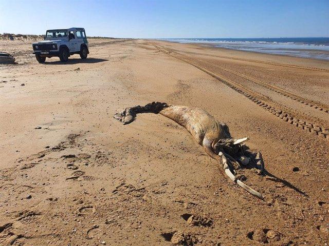 Cadáver de la ballena varada en El Espigon (Huelva).
