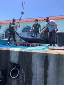 Agentes de la Guardia Civil, con una de las cinco piezas de atún rojo intervenidas.
