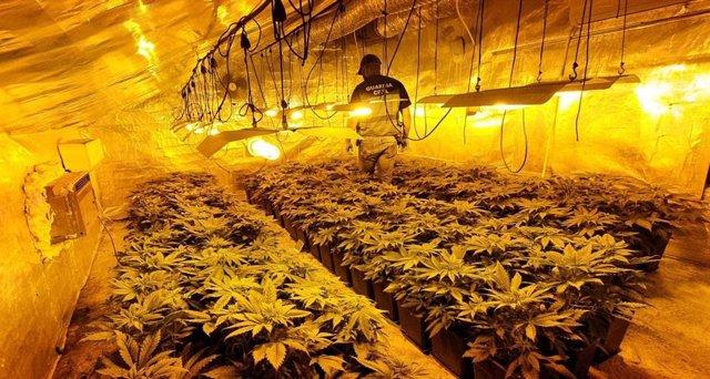Marihuana intervenida en Los Palacios
