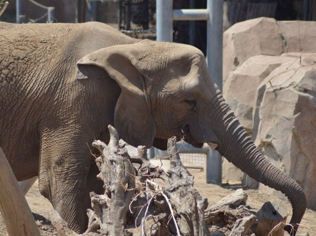 El elefante de la sabana africana Tembo, en el zoológico de San Diego, fue uno de los elefantes que participaron en el estudio.