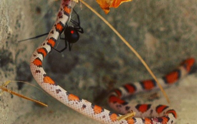 Serpiente escarlata atrapada y asesinada en una telaraña de viuda negra en la esquina del porche delantero de una casa en Gulf Breeze, Florida, Estados Unidos.