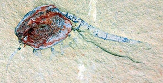 Chuandianella ovata, un crustáceo extinto parecido al camarón.