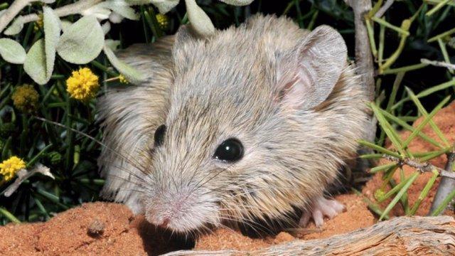 Ratón de Gould