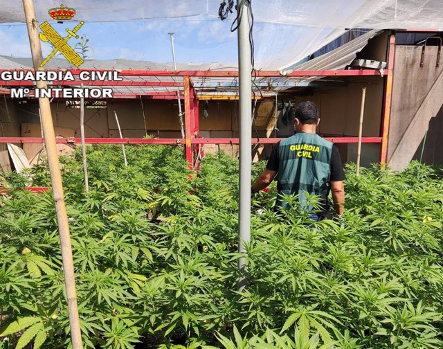 Plantación de marihuana en Canals