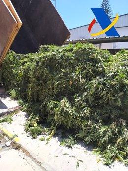 Desmantelada una plantación con 3.000 plantas de marihuana en un invernadero de Vélez de Benaudalla (Granada)
