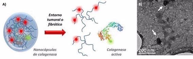Desarrollan nanocápsulas fluorescentes capaces de transportar colagenasa a zonas profundas de tejidos enfermos