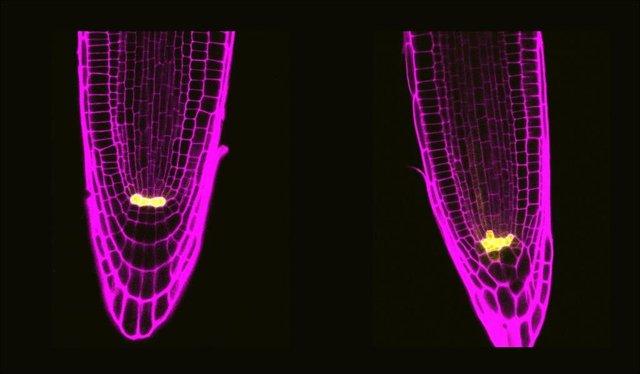 La comparativa de dos células con las proteínas mutadas.