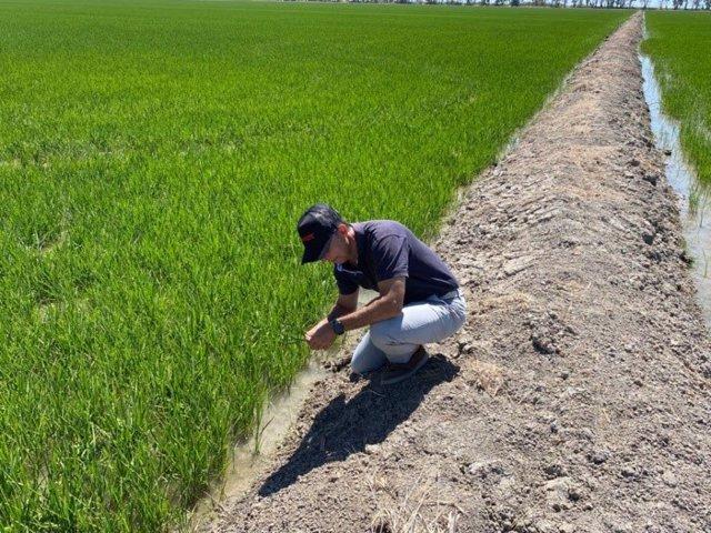 Un operario comprobando el estado del cultivo de arroz en Sevilla