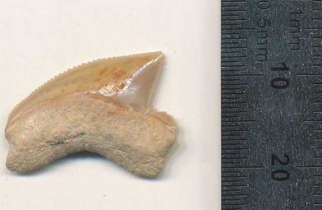 Diente de Squalicorax fosilizado Nr. 07815 del sitio de excavación de Jerusalén.