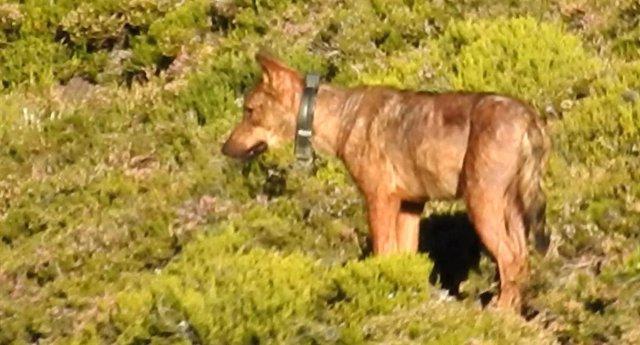Archivo - Lobo con collar GPS en una imagen de archivo.