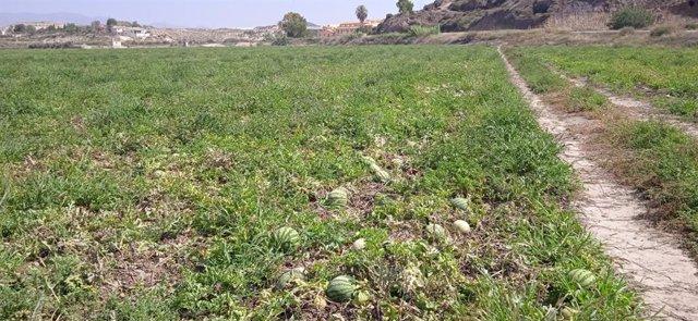 Cultivo de sandía al aire libre en el Levante de Almería