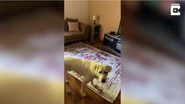 Antes de hacer el truco de rodar por el suelo, este perro se pone a calentar dando vueltas