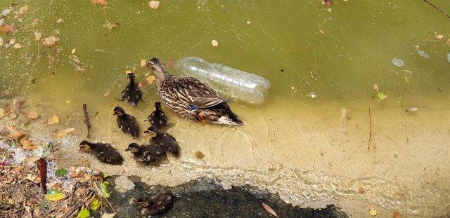 Archivo - Una hembra de ánade real con sus crías nadando entre suciedad y una botella de plástico en el lago del Parque Juan Carlos I de Madrid.