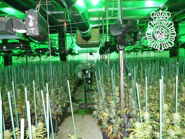 Plantación de marihuana desmantelada en Salamanca.