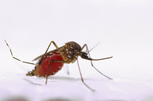 Archivo - Aedes aegypti, mosquito zika