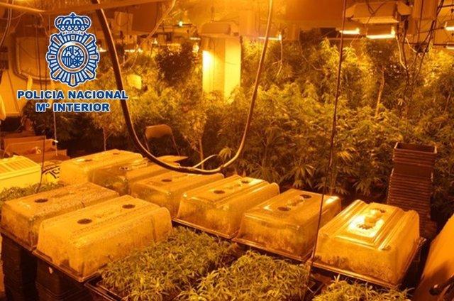 Plantación de marihuana oculta en el sótano de una lavandería