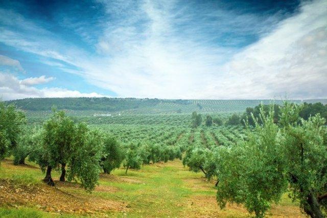 Archivo - Un campo de olivos