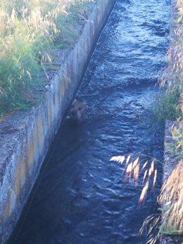 Un jabato caído en un canal de riego