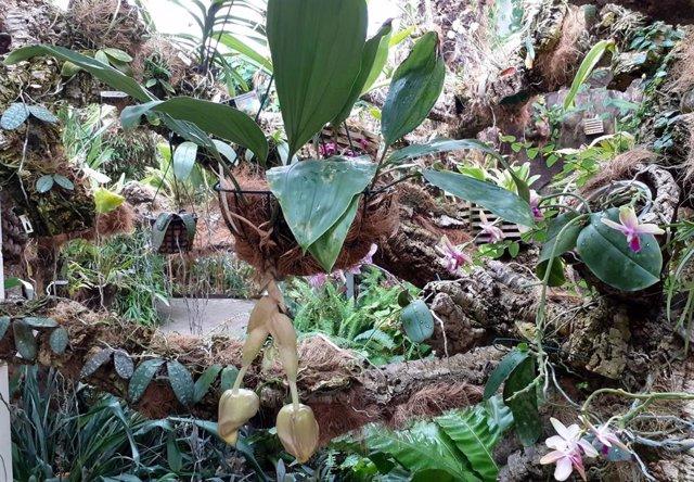 El Orquidario de Estepona acoge la floración de una especie mexicana cuya fragancia se percibe a metros de distancia
