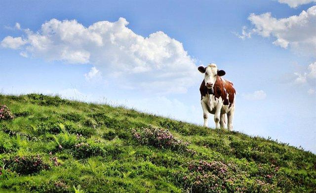Archivo - Vaca. Ganadería. Sector agrario, ganadero y lácteo. Mundo rural.