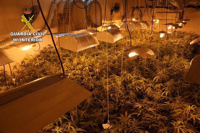 La Guardia Civil desmantela cuatro plantaciones de marihuana en Alcaudete de la Jara.