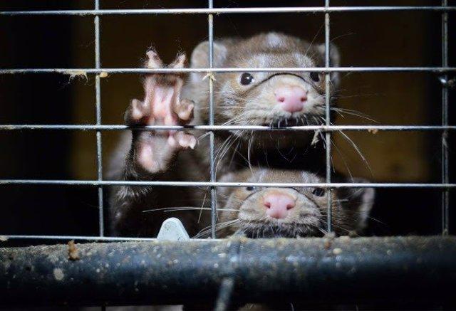 Visones americanos en una jaula