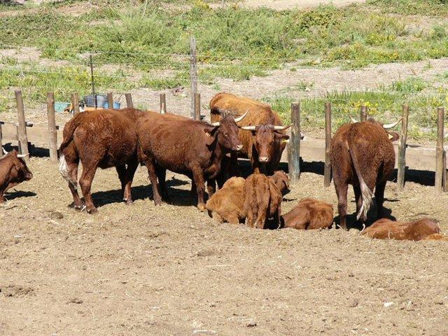 Archivo - Vacas rubias en un cercado al aire libre en una granja de Ourense.