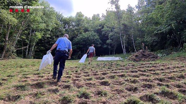 Plantació que els Mossos han desmantellat a Pardines (Girona)