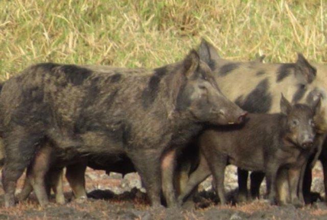 """""""Los cerdos salvajes son como tractores que aran los campos, removiendo el suelo para encontrar comida"""", dice el Dr. O'Bryan."""