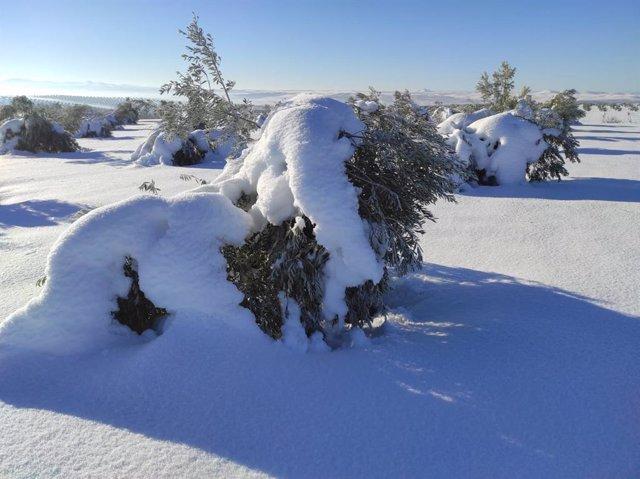 Archivo - Olivos con nieve tras el paso de Filomena por España