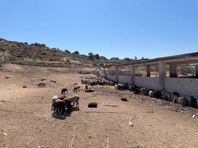 Policía de Elche impide la venta ilegal de una decena de corderos vivos en una explotación ganadera